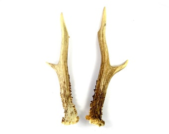 MATCHED PAIR 7.5 Inch Roebuck Antlers Horns Deer Antler Set Real Genuine Unique Roe