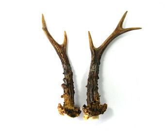MATCHED PAIR 9 Inch Roebuck Antlers Horns Deer Antler Set Real Genuine Unique Roe