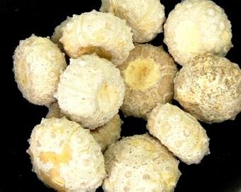 "ONE Tiny .5-.75"" Urchin Fossil Tiny Morocco Agate Seashell Shell Eocene Jewelry Pendant Supplies Prehistoric  Goniopygus Menardi"