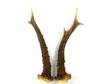 MATCHED PAIR 8 Inch Irregular Abnormal Roebuck Antlers Horns Deer Antler Set Real Genuine Unique Roe