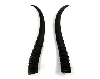 MATCHED PAIR 7 Inch Female Springbok Horns from Africa Maleficent Headdress 23
