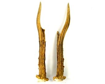 MATCHED PAIR 8 Inch Roebuck Antlers Horns Deer Antler Set Real Genuine Unique Roe