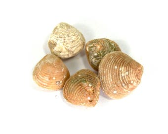 ONE Tiny 15-20mm Small Agatized Clam Fossil Tiny Morocco Agate Seashell Shell Eocene Jewelry Pendant Supplies