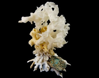 Carrier Shell Xenophoridae Pallidula with Glass Sponge Coral Seashell Sea Shell Decor Curiosity Cabinet Altar Seashells Unique Shells