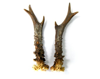 MATCHED PAIR 7 Inch Roebuck Antlers Horns Deer Antler Set Real Genuine Unique Roe
