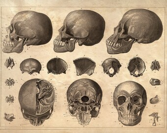 Anatomy of Skulls Wall Decor Poster