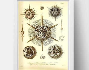 Radiolaria drawing by Ernst Haeckel  Poster