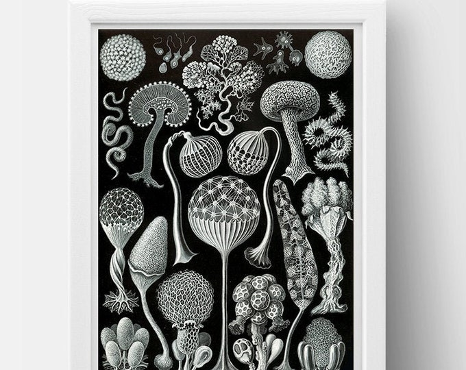 Mycetozoa Drawing (1904) by Ernst Haeckel Poster