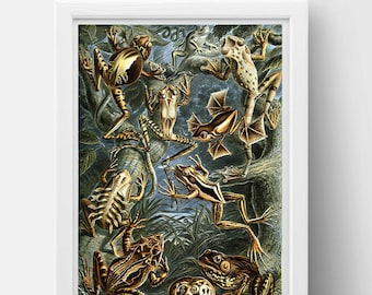 Batrachia (Frogs) Drawing (1899) by Ernst Haeckel Poster