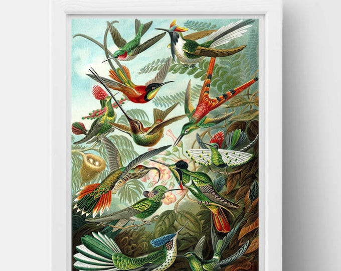Trochilidae (Hummingbirds) Drawing (1899) by Ernst Haeckel Poster