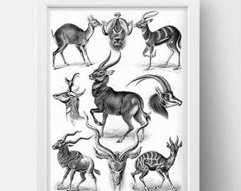 Antilopina (Antelope) Drawing (1904) by Ernst Haeckel Poster