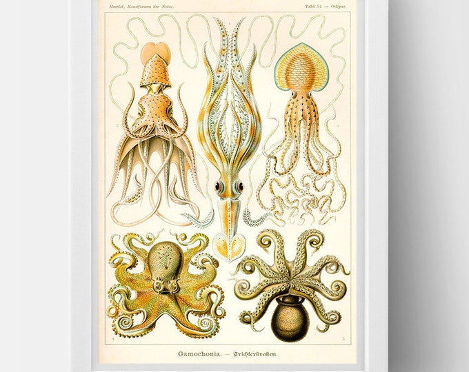 Cephalopods drawing  (1800s) by Ernst Haeckel  Poster