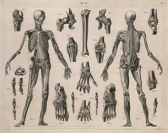 Muscles and Bones  Vintage Anatomy Drawing Wall Decor Poster