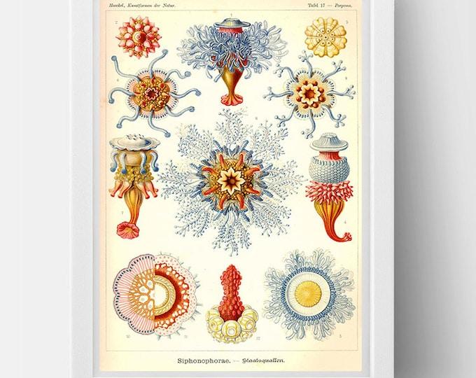 JellyFish (Porpita Porpita) drawing  (1800s) by Ernst Haeckel  Poster