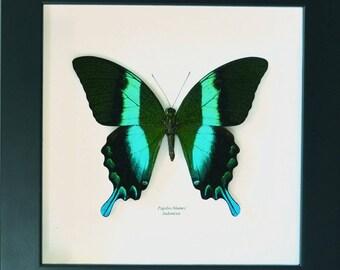 b6a9bf2e5f6 Pour les collectionneurs de papillons   Papillon blumei