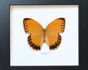 Butterfly collection: Stichophthalma howqua Butterfly large size from sustainable farm in China.