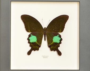 Small defects, price sacrificed. Large Paris butterfly of beautiful size, powdered indescribable iridescent green with a photo