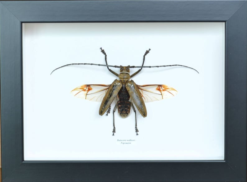 Insect collection, giant Capricorn from Wallace (Batocera blind salamander)  offers beauty and show few
