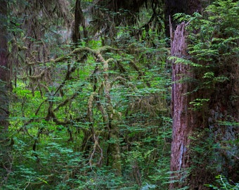 Landscape photography.  Rain forest in Washington State. Color print.