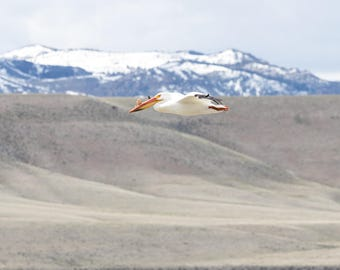 Wildlife photography. Pelican in flight. Snow topped Rocky Mountain backdrop. Springtime in Wyoming. Color print.