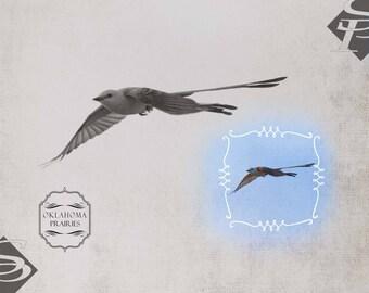 Scissortail in Flight