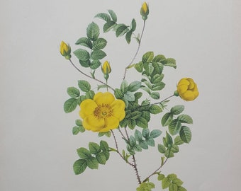 Rosa Eglanteria Luteola - Redouté vintage rose print - London 1954 - 64 yrs old - botanical print - yellow roses & buds