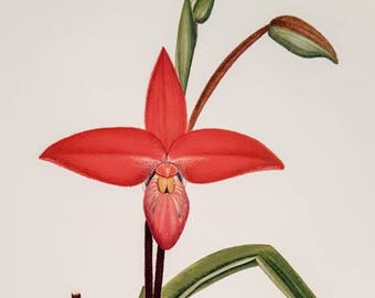 Gentil Andes Orchid Botanical Print ~ Original 1989 Print Published In The Kew  Magazine ~ Floral Print ~ Kew Gardens Red Flowers ~ Discovered Peru