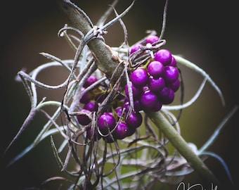 Purple Berry