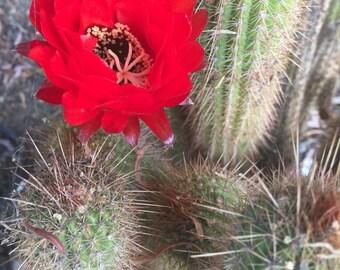 Echinopsis Grandiflora Red Torch Cactus