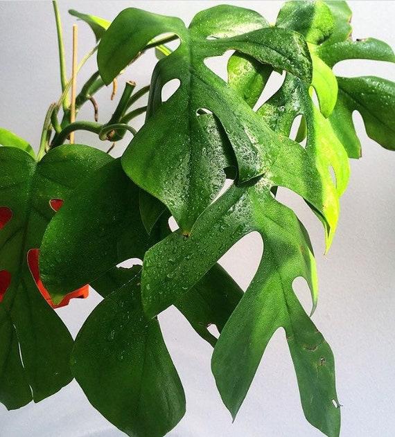 Rhaphidophora Pertusa Pilodendron Ginny Rhaphidophora Tetrasperma Live Plant