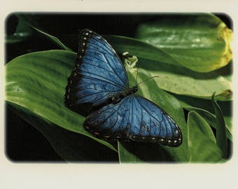 Blue Morpho Butterfly Note Card