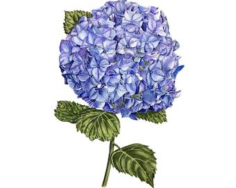 Reproduction Aquarelle - Hortensia
