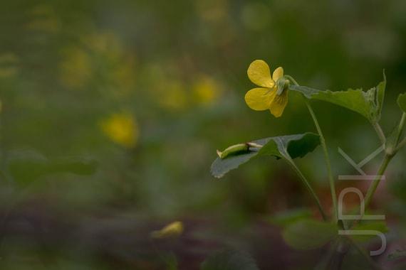 Yellow violet, Western Massachusetts