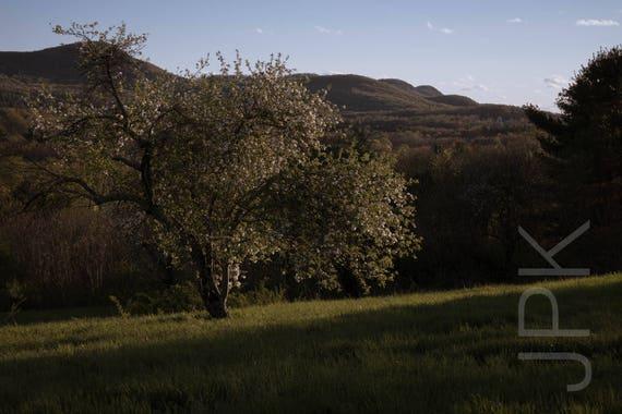 Blooming Apple Tree, Mount Pollux, Amherst, Western Massachusetts