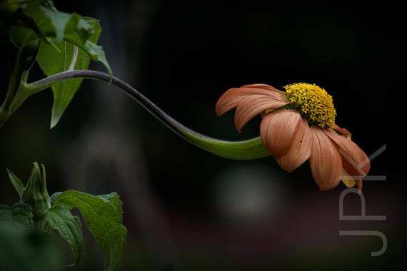 Mexican Sunflower in the Garden, Western Massachusetts