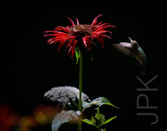 Hummingbird (ruby-throated) and bee balm, Western Massachusetts