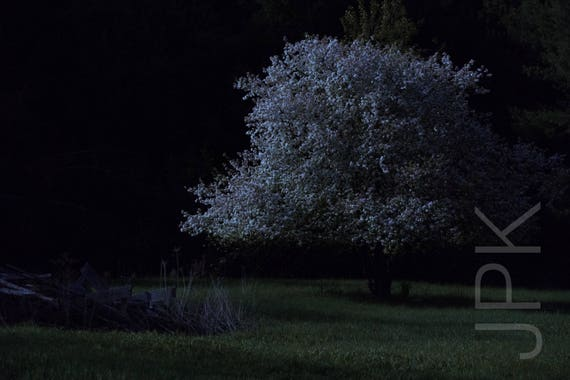Crabapple tree blooming by moonlight, Western Massachusetts