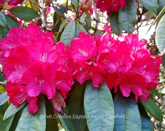 Pink Flowers Botanical Art - Rhododendron Photography Print