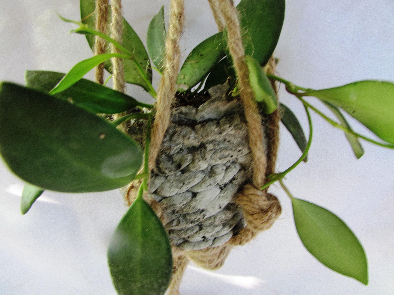 Mini Hanging Hoya Wax Plant in Handmade Planter