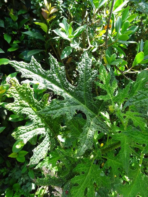 150 Fresh seeds-Hardy vivace Lobelia tupa-DEVIL /'S TOBACCO