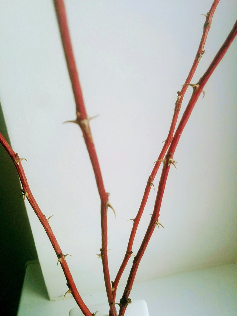 Red Decorative Branches For Vases Rose Hips On Stems Twig Etsy