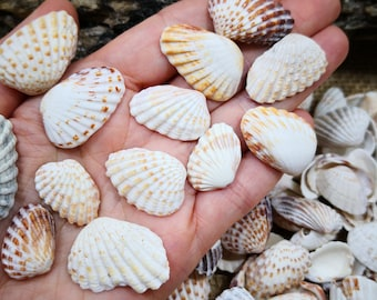 Seashells 2 Shells Heart Cardium Fragum