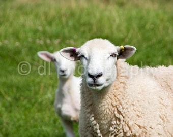 Sheep and Lamb Wall Art