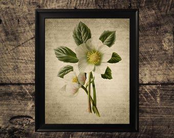 Vintage Christmas Rose print, flower decor, vintage botanical wall art,  flower print