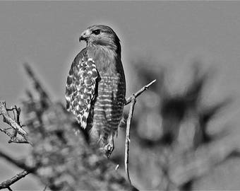 Red Shouldered Hawk Perched on an Oak Tree BLACK & WHITE
