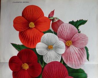 TUBEROUS BEGONIAS Variety Linden Antique Botanical Vintage Flower Print 1885