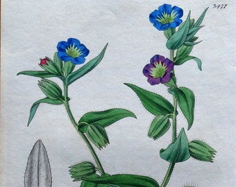 ALKANET CHANGEABLE FLOWERED Curtis Hand Coloured Antique Botanical Print 1836