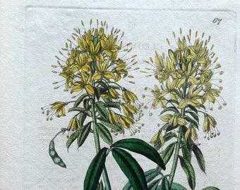 CLEOME LUTEA Yellow Bee Plant Edwards Ridgway Antique Botanical Print 1841