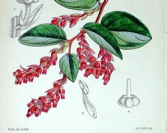 BRACTEATED GAULTHERIA W.H. Fitch Original Antique Botanical Vintage Flower Print 1849