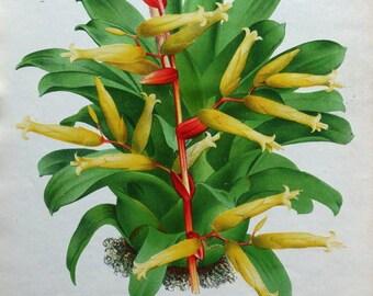 VRIESEA RODIGASIANA Brazil Linden Antique Botanical Vintage Flower Print 1882